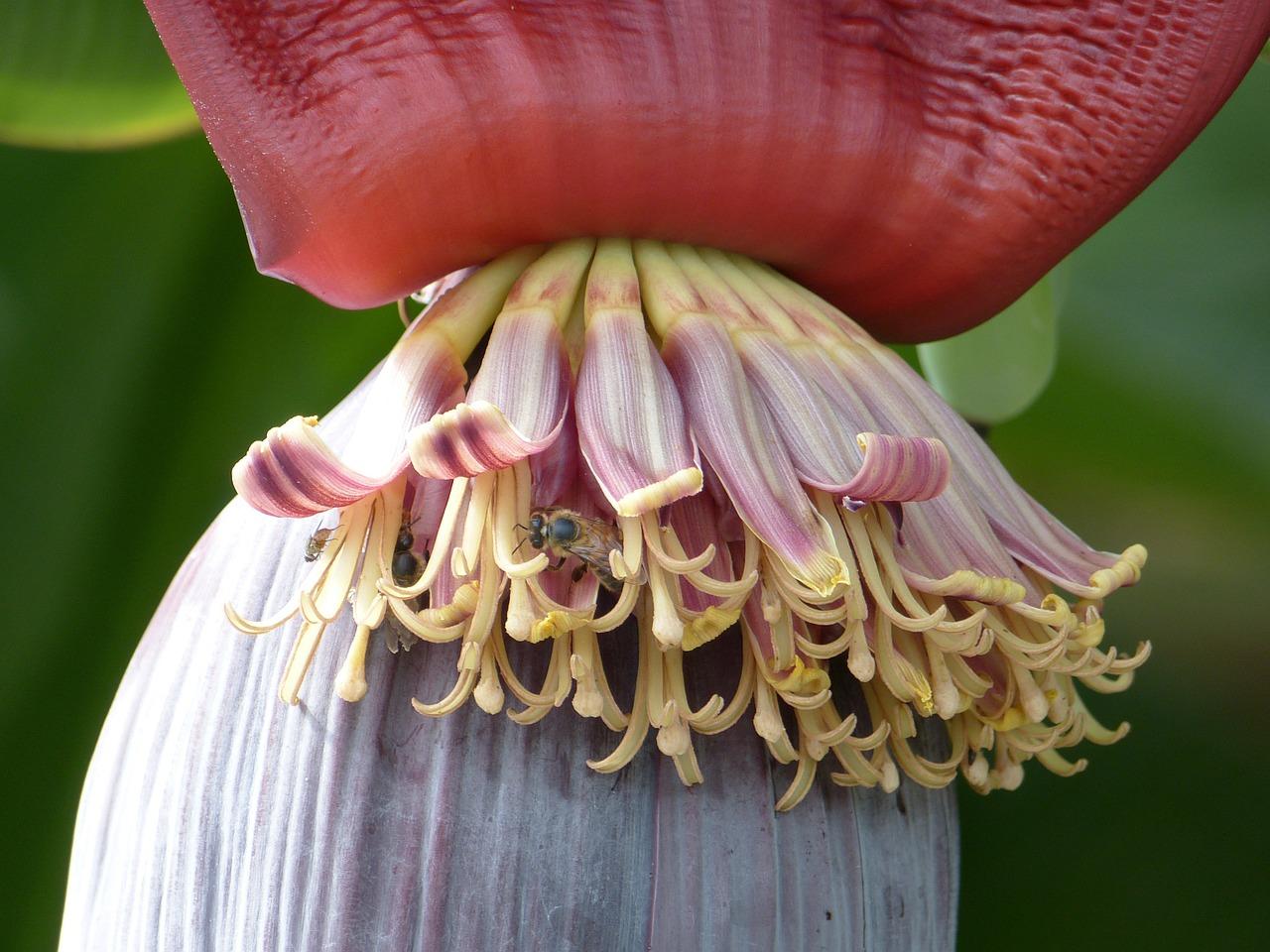 Bananenblüte – Das Herz des Bananenbaums