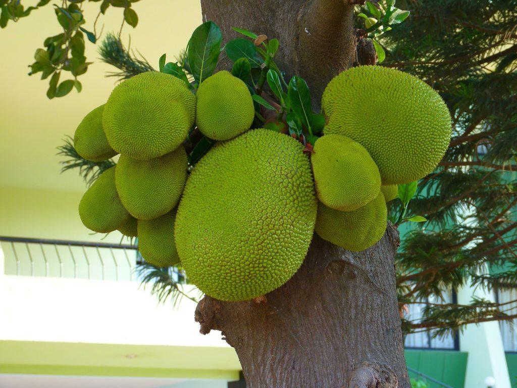 Jackfruit am Baum